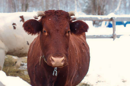 Cow brown, close-up portrait. Cattle in the paddock outdoors in winter. A chestnut-colored horned cow with horns in the snow.