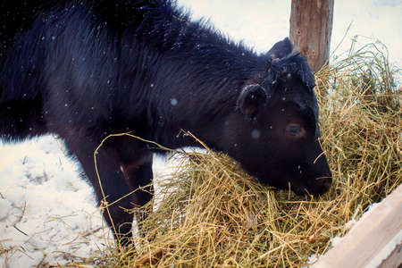 Young black bull eats hay in the paddock. The cow is dark brown on a winter day outdoors. Snow falls on a calf in an open enclosure. Banco de Imagens