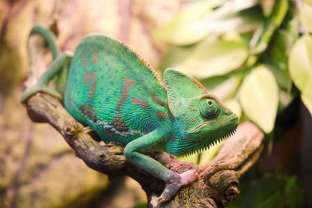 Yemeni chameleon, or helmet-bearing (Chamaeleo calyptratus) - a species of lizards from the chameleon family. One of the largest representatives of his family. Body length is 60 cm.
