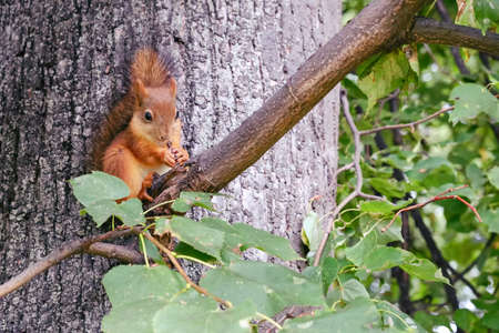 A little red squirrel sits on a branch among green leaves