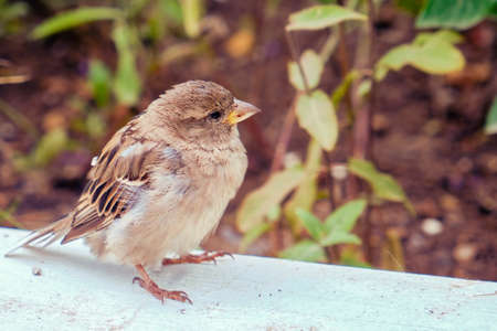 A young sparrow with a yellow beak and ruffled plumage
