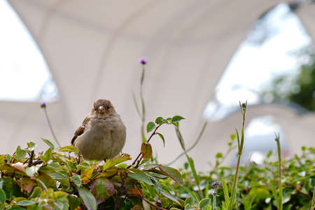 Sparrow looking at the camera while sitting on a green bush, closeup Фото со стока