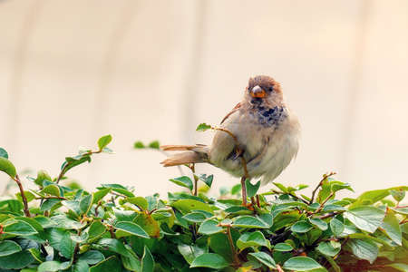Nestling of a Sparrow in the green Bush, close-up
