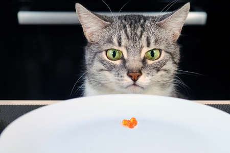The grumpy cat looks at the empty plate with red caviar. Sad cat sitting in front of a table with an empty bowl. Human food is harmful to animals. Frustrated pet in the kitchen Stock Photo