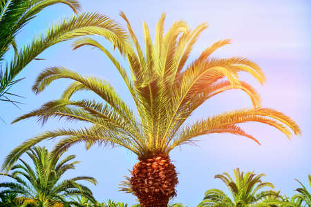 Beautiful tropical palm tree in the sun, close-up. The leaves of a coconut palm look like a pineapple. African tree grove against the blue sky. Africa, Tunisia, middle East. Zdjęcie Seryjne