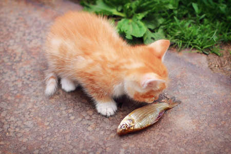 A small red kitten and a big fish. Summer lifestyle, the cat sniffs the fish. Kitten and caught carp on grass background.