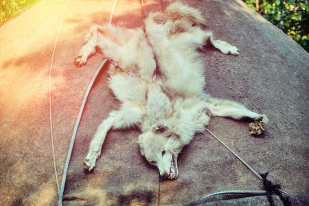 The skin of a wolf lying on the roof of the Yurt. Amulet nomadic peoples in the form of a dead predator. Big white wolf skin with head and teeth.