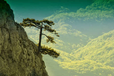 Pine trees on the background of a mountain cliff. Trees grow on the edge of a stone abyss. The mountains along the canyon of Crimea