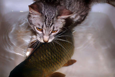 Gray kitten hunts big fish. Little cat trying to catch carp. Prey the predator can not handle. The funny pet is trying to pull the fish out of the water 스톡 콘텐츠