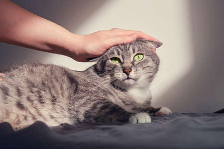 Cat is displeased and scared that a man hand is stroking it