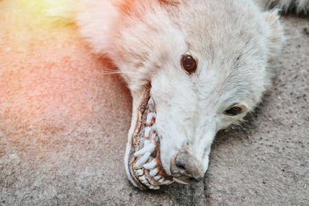 Head of a dead wolf, close-up. Toxidermia killed predator with teeth and eyes. ...