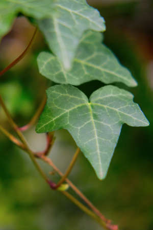 Hedera helix, the common ivy, is a species of flowering plant in the family Araliaceae Foto de archivo