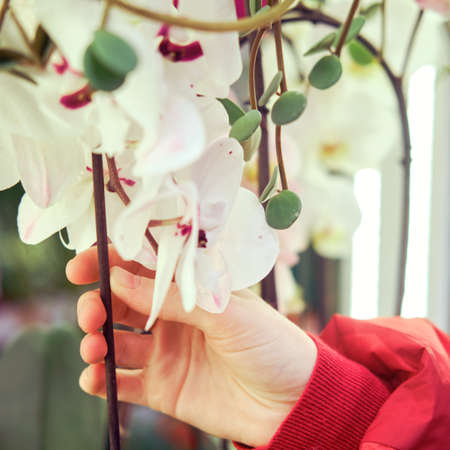 Woman gardener hands with a white orchid flower in a greenhouse store