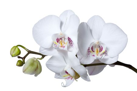 exoticism: A stem with beautiful white flowers and buds of phalenopsis orchid, isolated on white