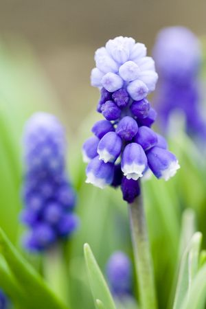 Macro of Hyacinth muscari flower, sign of spring photo