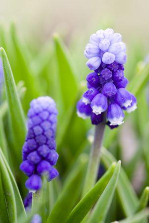 Macro of Hyacinth muscari flower, sign of spring photo