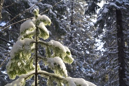 close-up fir-tree in the forest after snowfall photo