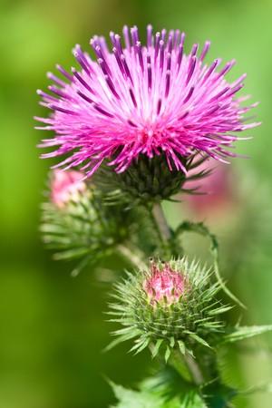 Macro weergave van een distel bloem