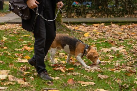 Hunting dog Beagle and his owner walking in the Park