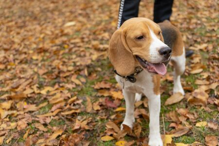 Hunting dog Beagle in the Park in autumn. Pet, puppy Reklamní fotografie