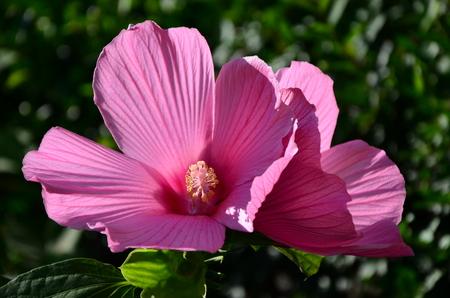 shrub: Shrub Althea Flower