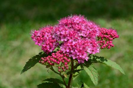 blooming: Blooming Spirea