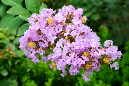 myrtle: Crape myrtle  Stock Photo