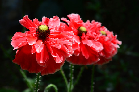 blooming: Blooming poppy Stock Photo