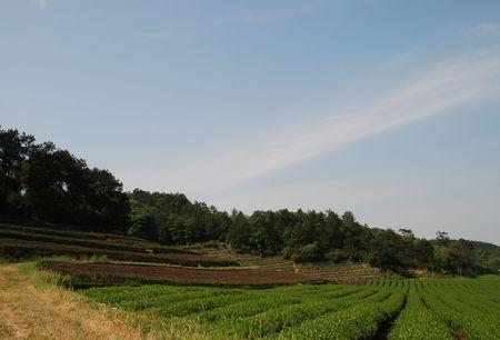 Tea garden,green tea photo