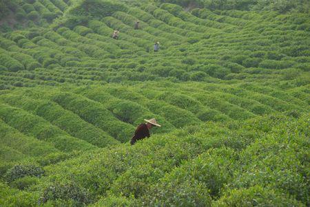 Tea garden, green tea photo