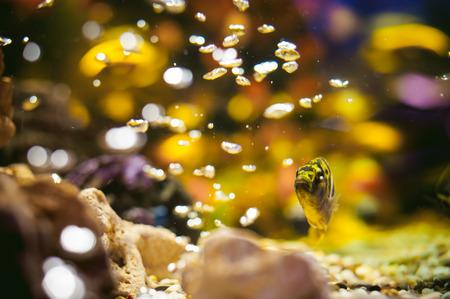 aquarium cichlid exotic fish. flock of sea yellow orange fish swimming in an aquarium Stock Photo