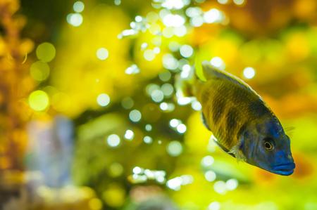 cichlid: aquarium cichlid exotic fish. blue fish swimming in the aquarium