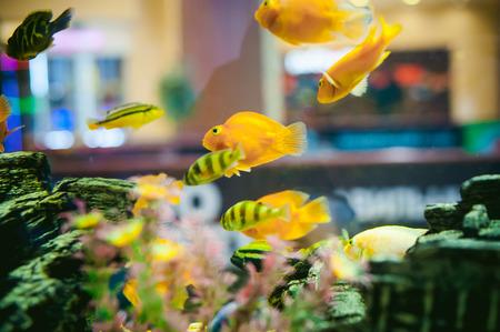 cichlid: aquarium cichlid exotic fish. flock of sea yellow orange fish swimming in an aquarium Stock Photo