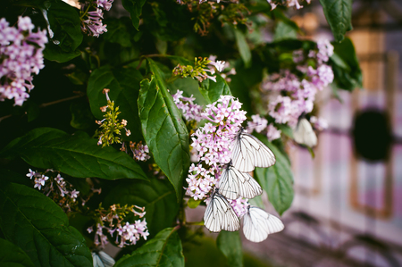 white butterflies on flowers of lilac and green leaves Stock Photo