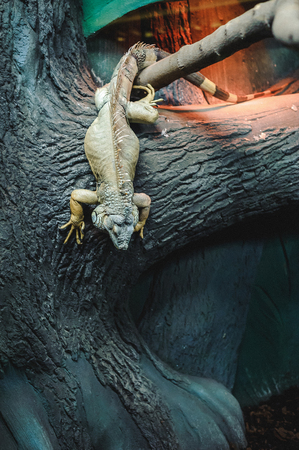 big green lizard Iguana in the cage, down to earth with a tree Stock Photo