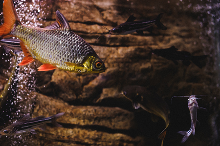 beautiful exotic large aquarium fish swimming in the water, marine life of the underwater world Stock Photo