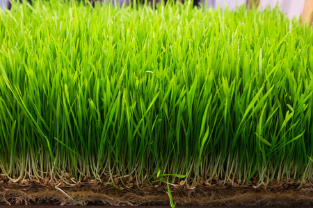 Fresh clean green wheat sprouts photo