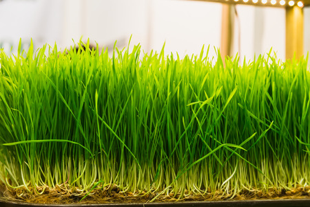 Fresh clean green wheat sprouts