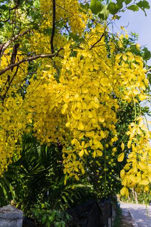 Flower of Golden Shower Tree, Thai National Flower