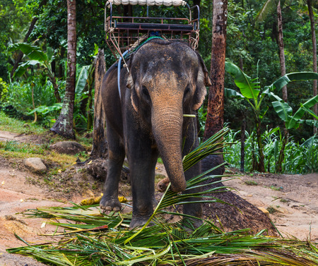 Indian elephant on a walk in the jungle