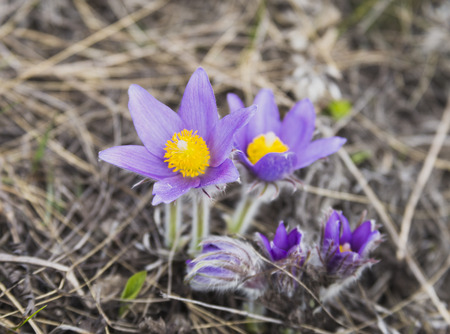 plants species: spring flowers snowdrops are included in the Red Book as a rare species of plants, Russia, Shigonsky District, village Volga Cliff, Mountain Svitelka