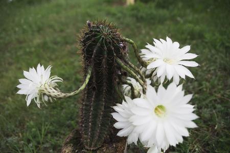Koningin van de nachtcactus (Selenicereus-grandiflorus) op witte achtergrond wordt geïsoleerd die Stockfoto