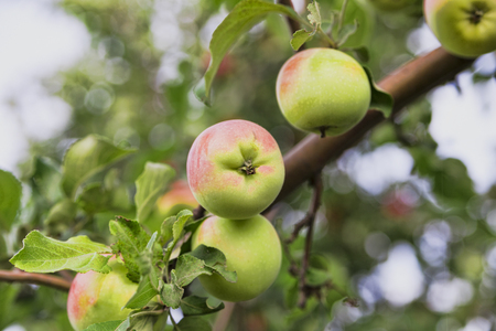 red white apples on a branch of an Apple tree fresh harvest