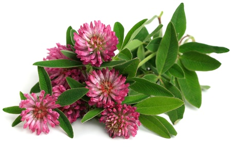 Fresh bunch of red clover (Trifolium pratense) on a white background