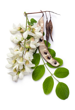 Robinia pseudoacacia (Black Locust, False Acacia) flowers, leaf and seeds on a white background