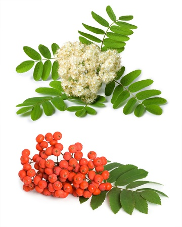 Rowan berry and flowers (mountain ash, Sorbus aucuparia) on a white background photo