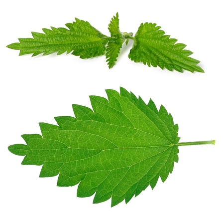 Set of green nettle branch  and leaf