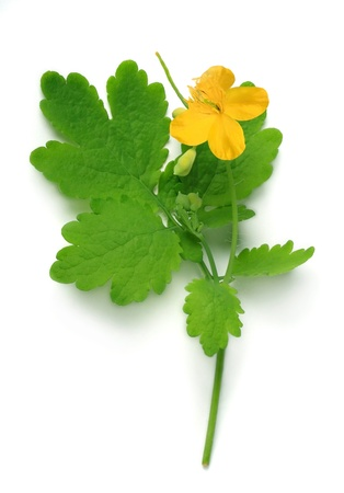 Chelidonium (Chelidonium majus, greater celandine, tetterwort, bloodroot) on a white background
