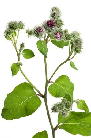 白い背景の上の大きいゴボウ (ゴボウゴボウ tomentosum) 花