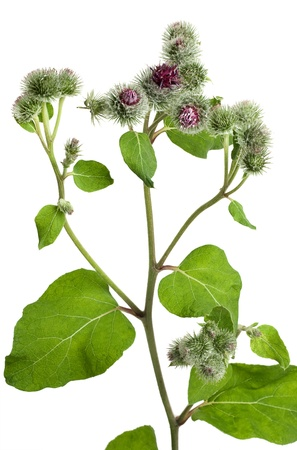 greater: Greater burdock (Arctium tomentosum) flower on a white background Stock Photo